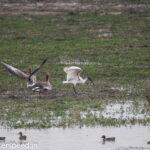 XQ4V3136-grey-lag-goose