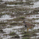XQ4V3165-grey-headed-lapwing